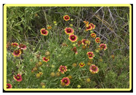 Florida Wildflowers